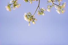桃红色结构树喇叭 花是开花美好 免版税库存照片