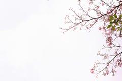 桃红色结构树喇叭 花是开花美好 库存图片