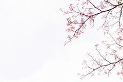 桃红色结构树喇叭 花是开花美好 库存照片
