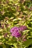 桃红色绣线菊类的植物 免版税图库摄影