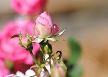 桃红色罗斯在夏天 免版税图库摄影