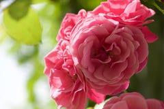 桃红色罗斯在阳光下 免版税图库摄影