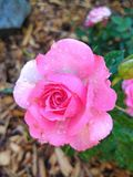 桃红色罗斯开花 库存图片