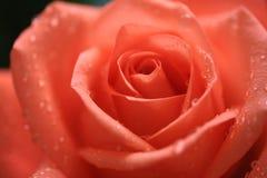 桃红色罗斯的特写镜头有水滴的 免版税库存照片