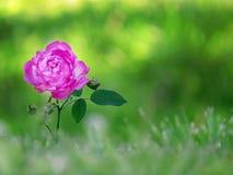 桃红色罗斯绿色Bokeh背景 库存图片