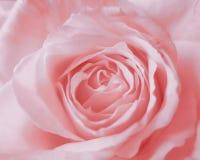 桃红色罗斯背景-花储蓄照片 免版税库存图片