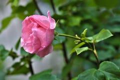 桃红色罗斯花在庭院里 免版税库存照片