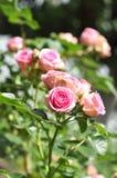 桃红色罗斯花本质上 库存图片