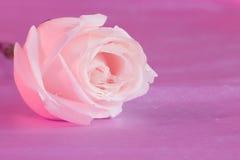 桃红色罗斯花桌面墙纸-储蓄图象 免版税库存图片