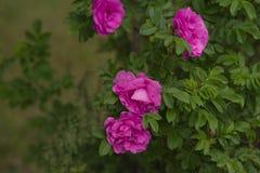 桃红色罗莎花 库存图片