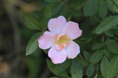 桃红色罗莎canina或狂放上升了与叶子特写镜头 免版税库存图片