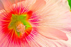 桃红色美丽的花射击特写镜头 库存图片