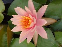 桃红色美丽的莲花在莲花城市巴吞他尼府泰国 图库摄影