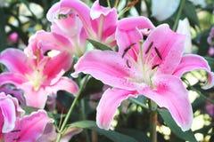 桃红色美丽lilly在庭院里 库存照片