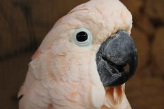 桃红色美冠鹦鹉看的关闭 免版税库存照片