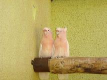 桃红色美冠鹦鹉- Lophochroa leadbeateri 免版税图库摄影