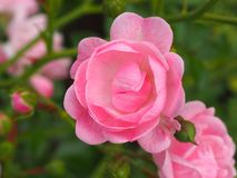 桃红色美好的宏观花照片背景 库存照片