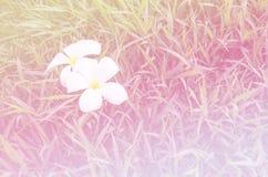 桃红色美好的软的颜色和蓝色开花背景自然-羽毛 免版税库存图片