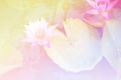 桃红色美好的软的颜色和蓝色开花背景自然-莲花 免版税库存图片