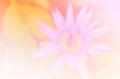 桃红色美好的软的颜色和蓝色开花背景自然-莲花 库存图片