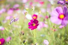 桃红色美妙地开花波斯菊绽放对早晨光 免版税库存图片