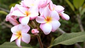 桃红色羽毛,赤素馨花在自然光开花 影视素材