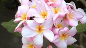 桃红色羽毛,赤素馨花在自然光开花 股票录像