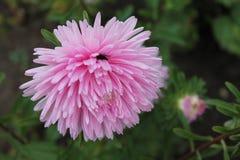 桃红色翠菊在城市公园遇见黎明 在被隔绝的背景的桃红色翠菊花 免版税库存图片