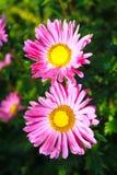 桃红色翠菊在庭院里 免版税库存照片