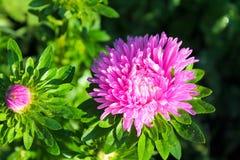 桃红色翠菊在庭院里 库存图片