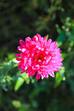 桃红色翠菊在庭院里 库存照片