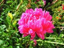 桃红色翠菊在早晨阳光下 免版税图库摄影