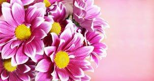 桃红色翠菊开花壁角安排 免版税库存图片