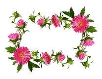 桃红色翠菊花和芽装饰框架  免版税图库摄影