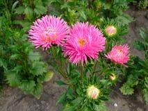桃红色翠菊花在庭院里 免版税库存图片