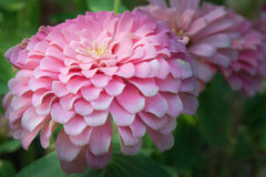桃红色翠菊花在Rama 9 (本地名字)全国庭院, Bangko里 库存图片