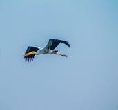 桃红色腿黑色被掀动的鸟 免版税库存图片
