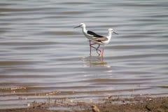 桃红色腿黑色被掀动的鸟 库存图片