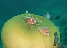 桃红色臭鼬clownfish双锯鱼perideraion和雀鲷跳舞在海葵触手,巴厘岛 免版税库存图片