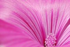 桃红色花、雄芯花蕊和花粉 免版税图库摄影