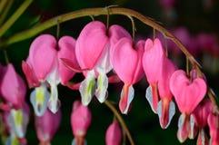 桃红色花。Lamprocapnos/荷包牡丹属植物出血心脏 免版税图库摄影