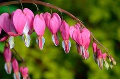 桃红色花。Lamprocapnos/荷包牡丹属植物出血心脏 库存照片