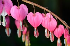桃红色花。Lamprocapnos/荷包牡丹属植物出血心脏 免版税库存图片