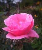 桃红色花上升了有黑暗的背景 库存图片