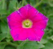 桃红色花五边形形状 库存图片