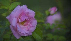 桃红色花以叶子和分支绿色  免版税图库摄影