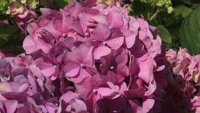 桃红色花八仙花属