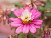 桃红色花关闭在庭院 图库摄影