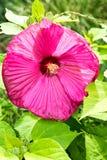 桃红色花关闭开花的正面图 图库摄影