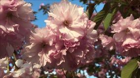 桃红色花分支在庭院里 股票视频